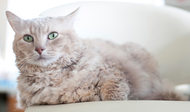You'll Love This Curly-Coated Kitty
